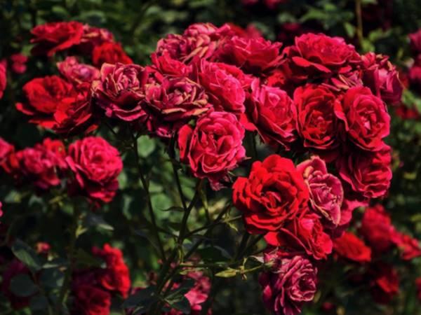 Mơ thấy hoa hồng đánh liền tay cặp số nào? Điềm tốt hay xấu?